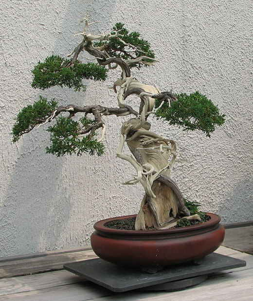 Cum sa ingrijesti un bonsai