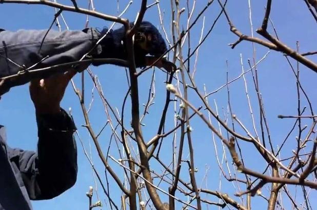 lucrari de taiere la pomii fructiferi