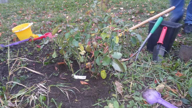 plantare_trandafiri4