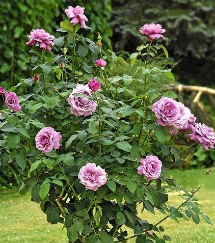 trandafiri_charles_de_gaulle