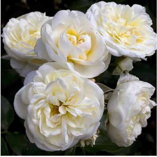 trandafiri_lady_romantica
