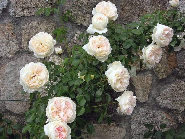 trandafiri mon jardin