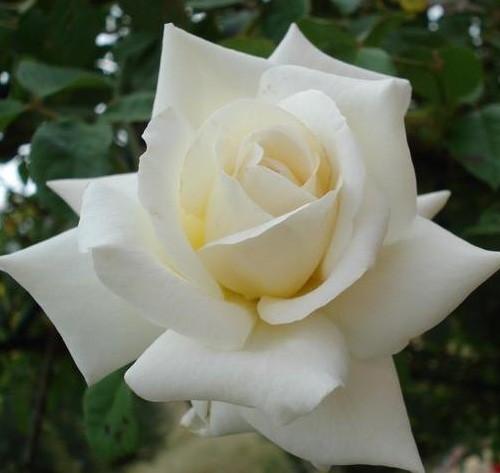 trandafiri_urcatori_blanche-colombe-2