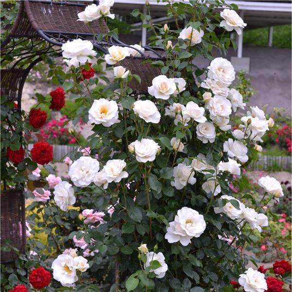 trandafiri_urcatori_blanche-colombe_1