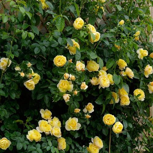trandafiri_urcatori_soleil-vertical1