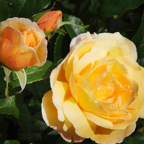 trandafiri_urcatori_soleil-vertical2