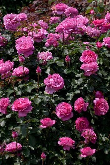 trandafiri_urcatori_yves-piaget1