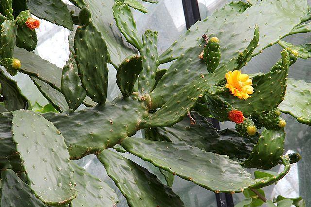 cactus-limba-soacrei