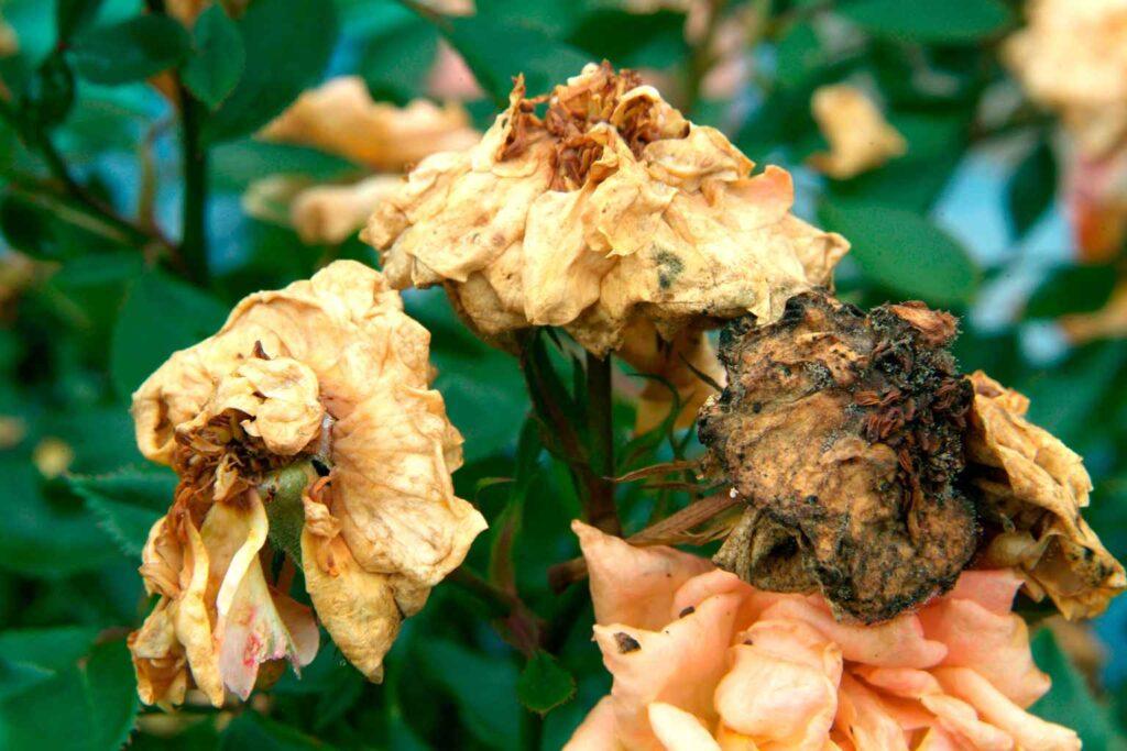 trandafiri-culegerea-florilor-uscate