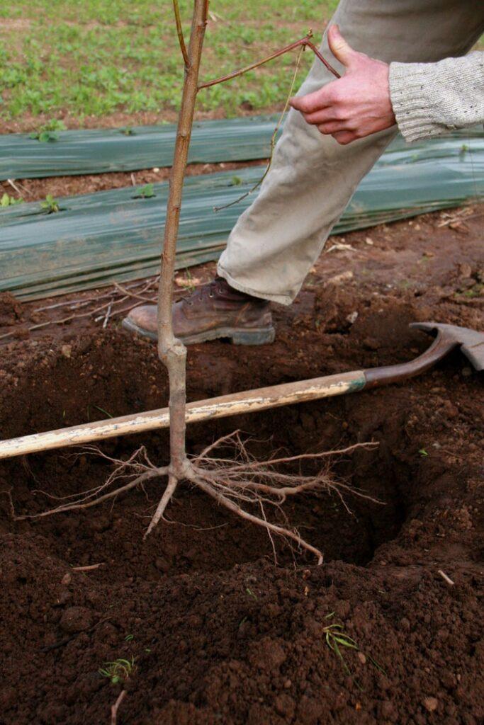 plantarea-pomilor-fructiferi-toamna-adancimea-de-plantare