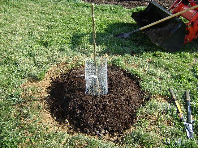 plantarea-pomilor-fructiferi-toamna-protejare-copacel