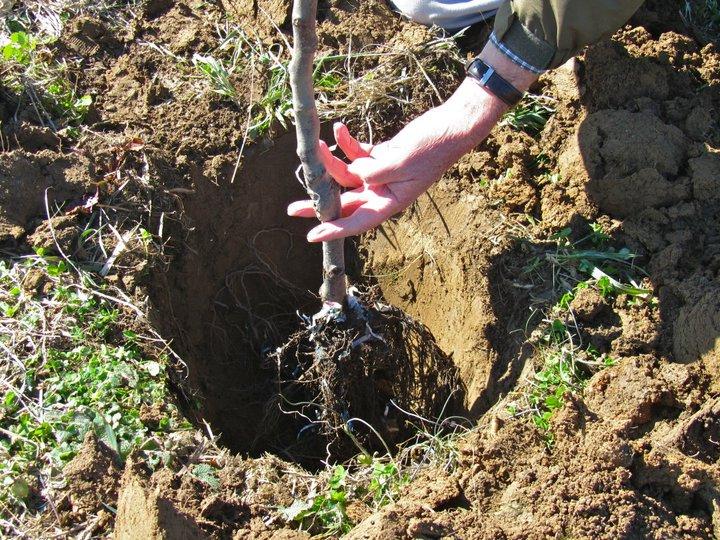 plantare pomi - cum se face