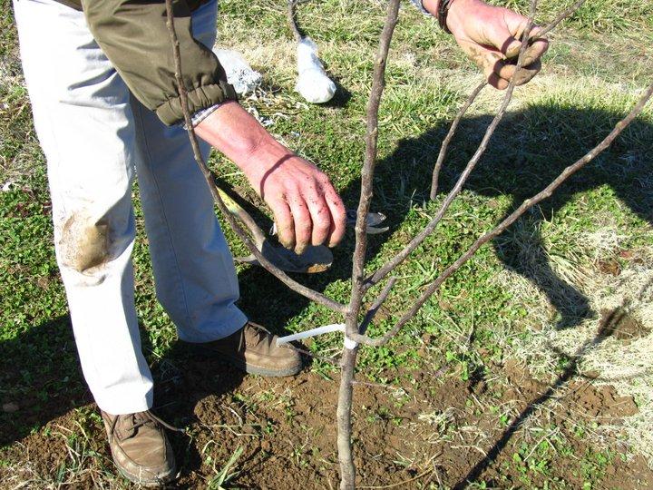 plantarea-pomilor-fructiferi-toamna-taierile