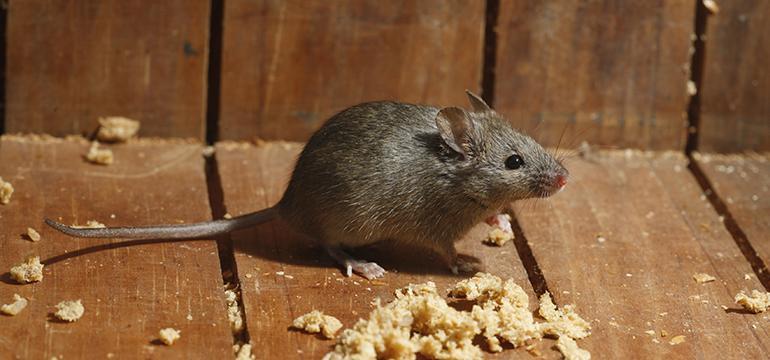 Cum scapi de șoareci. Tipuri de capcane și repelenți